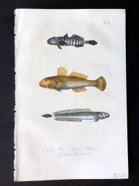 Lacepede 1840 Hand Col Fish Print. Goby 54